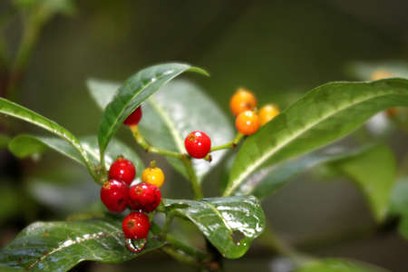 Coffee beans growing on a plant in Madagascar forest