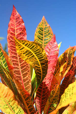 Colourful leaves of a tropical plant growing in Madagascar photo