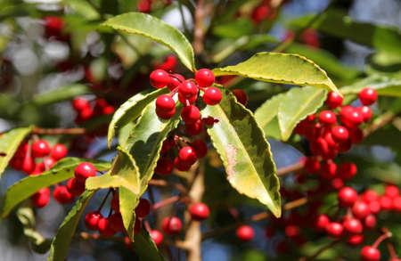 planta de cafe: Granos de café que crece en una planta en Madagascar bosque
