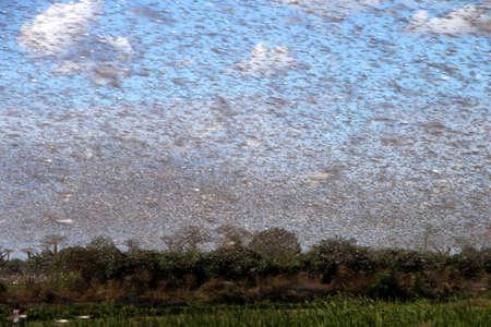 Enorme zwerm hongerige sprinkhanen tijdens de vlucht in de buurt Morondava in Madagaskar