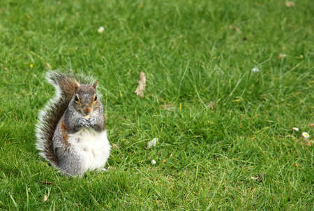 Squirrel standing in a grass in the park photo