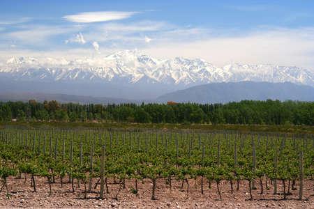 Biologische wijngaarden in de buurt Mendoza in Argentinië met Andes op de achtergrond Stockfoto