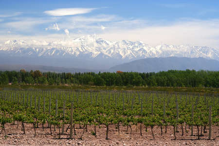 mendoza: Organic vineyards near Mendoza in Argentina with Andes in the background