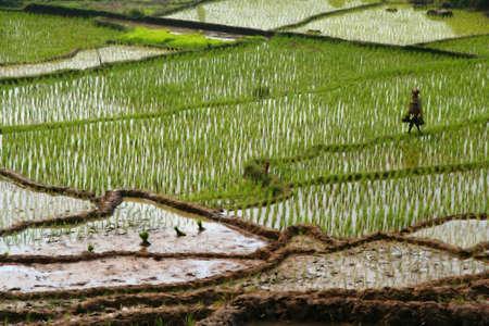 Terrazas verdes campos de arroz en Indonesia Sumatra Foto de archivo