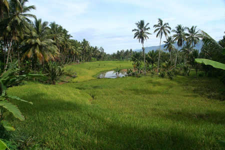 ricefield: Tropical green landscape on Sumatra island in Indonesia