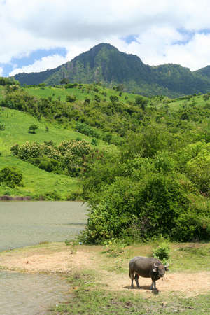 Water buffalo with dense tropical jungle on the Indonesian Sumbava island in the background photo