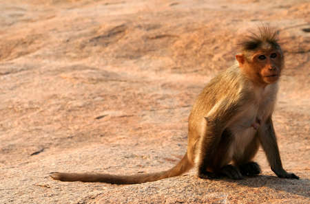 A small wild macaque monkey on the rock in Hampi in India photo