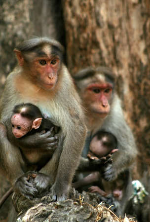 A wild macaque monkey family in a national park in India photo