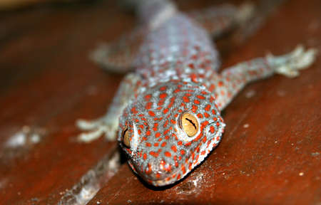 komodo island: Close up of a red spotted gecko, picture taken on the Komodo island, Indonesia