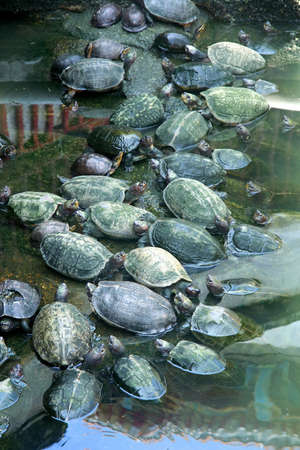worshipped: Turtles in a water in a temple in Penang, Malaysia