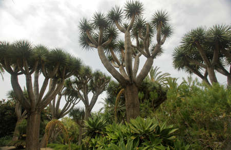 Dragon trees growing in the tropical garden in Loro Parque in Tenerife, Canary Islands, Spain Stock Photo - 19897538