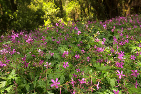 Pink flowers in the rainforest in Garajonay national park, La Gomera, Canary Islands, Spain photo