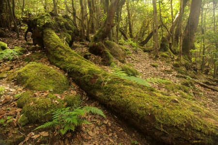 Fallen tree in the rainforest in Garajonay national park, La Gomera, Canary Islands, Spain photo