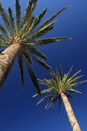 Tall palmtrees with the blue sky in the background photo