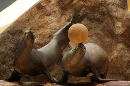 Seals showing their skills with a ball during show in Loro Parque in Tenerife, Spain photo