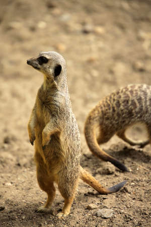 Meerkat catching the sun, Battersea childrens zoo, London photo