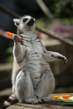 devouring: Ring-tailed lemur devouring carrot in Battersea childrens zoo, London