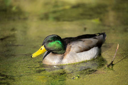 Mallard duck swimming in a small pond in Rookery in Streatham, London photo