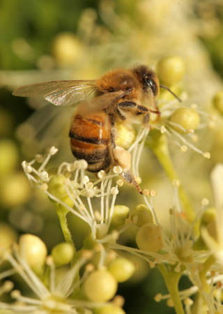 Macro shot of a bee collecting pollen on a yellow flower, summer photo