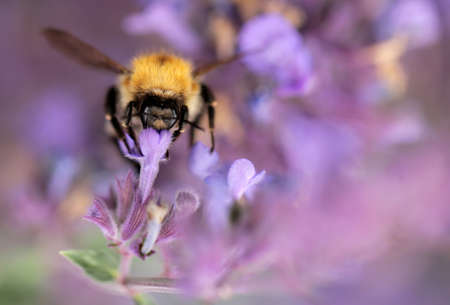 Bumblebee collecting pollen on a lavender, summer photo