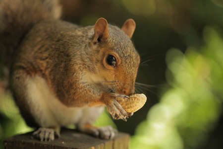 dfbfcde68bc5  21580268 - Close up of a grey squirrel eating a nut