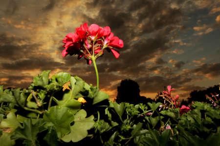 Macro shot   close up   of a pelargonium geranium at sunset photo