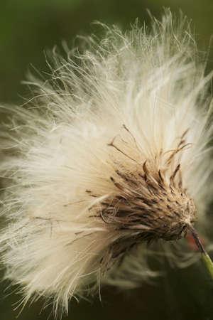 Macro shot of thistle capsule dispersing seeds photo