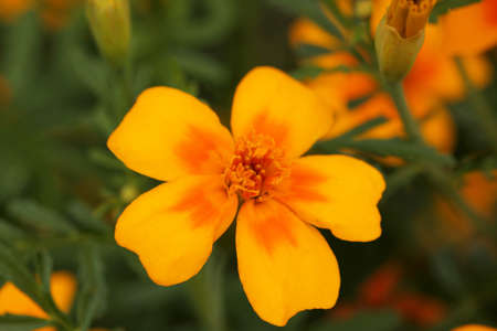 Yellow potentilla flower growing in the garden photo
