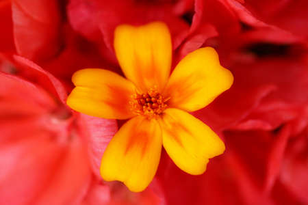 Yellow potentilla over background of red primrose flowers photo