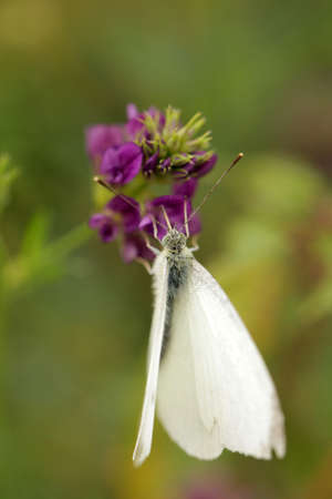 White Cabbage Butterfly feeding on the nectar of a lavender flower in spring photo