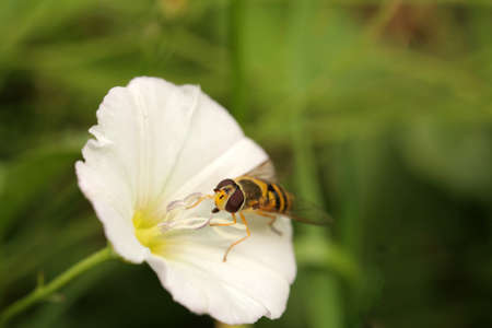 Bee collecting pollen on a white flower in summer photo