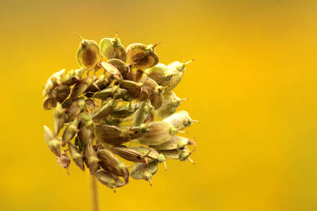 Dried and dying flower on a meadow in summer Stock Photo - 22275879