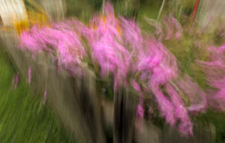 Artistic effect of pink impatiens flowers behind a wooden garden fence Stock Photo - 22275910