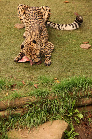 feasting: Cheetah feasting on a piece of fresh meat
