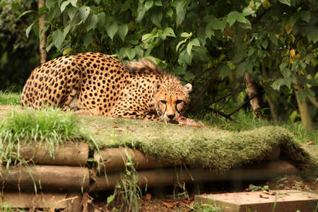 devouring: Cheetah feasting on a piece of fresh meat