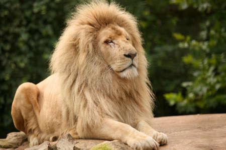 Portret van een oude leeuw zittend op een rots Stockfoto