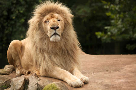 Portrait of an old lion sitting on a rock