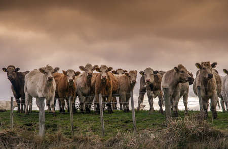 Curious cows on the pasture in the North Island, New Zealand Stock Photo - 26944031