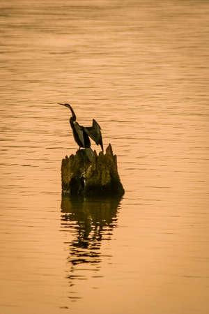 periyar: Snake bird drying his wings, Periyar Natural Reserve, India