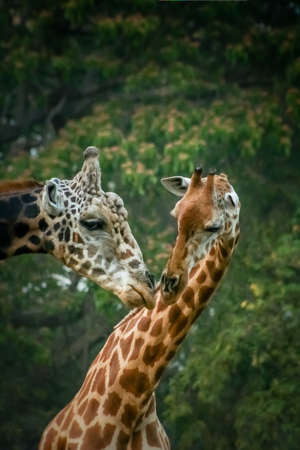 Couple of giraffes in love in the zoo in India photo