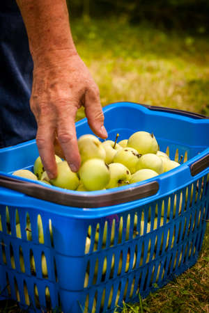 fallen fruit: Man putting into the basket apples he just picked up from a tree Stock Photo