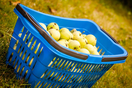 collected: Fallen apples collected into a blue basket