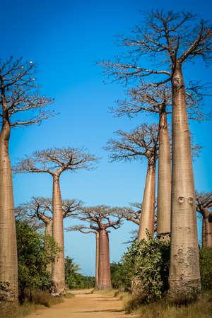 Famous Avenida de Baobab near Morondava in Madagascar photo