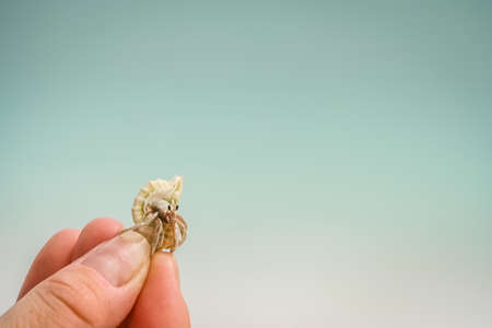 Miniature crab in his shell held in human hand photo