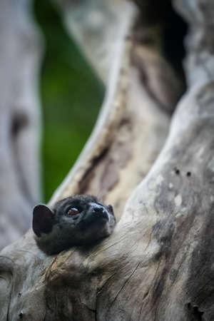 anja: Small Lepilemur Ankaranensis (Ankarana Sportive Lemur) hiding in a tree, Ankarana National Park, Madagascar, Africa