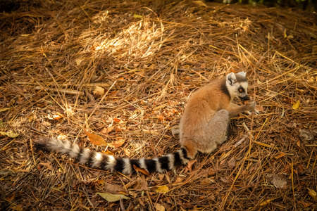 ring tailed: Small ring tailed lemur