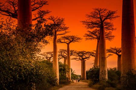 Sunset in famous Avenida de Baobab near Morondava in Madagascar 스톡 콘텐츠