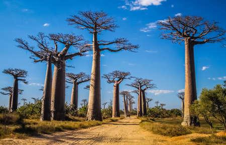 Famous Avenida de Baobab near Morondava in Madagascar 写真素材