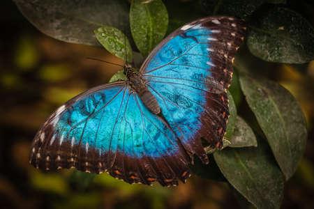 Peleides ブルーモルフォ蝶モルフォ peleides としても知られています。 写真素材
