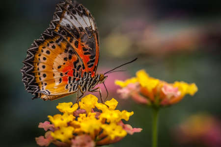 lacewing: Lacewing butterfly also known as cethosia biblis